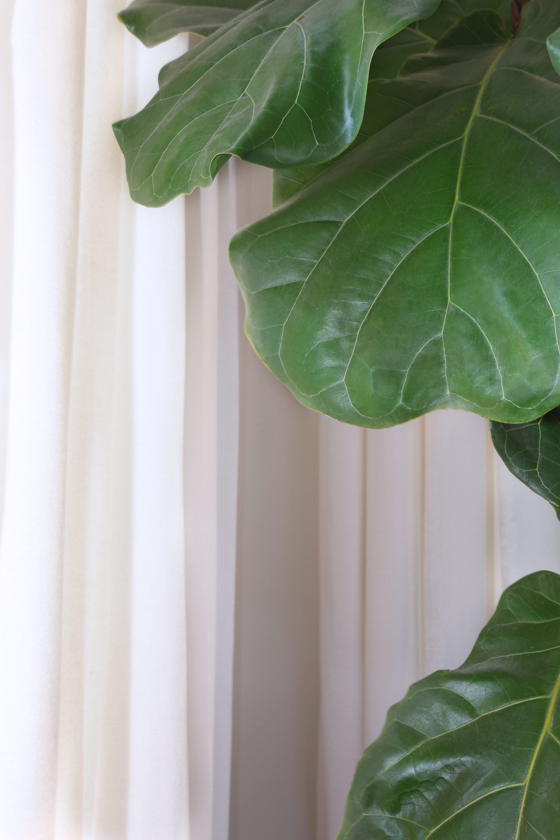 Fiddle Leaf Tree Melissa Morgan Design 1